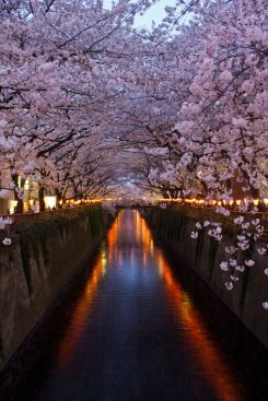 cherry blossoms in tokyo.jpg